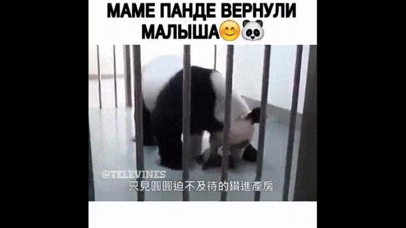 маме панде вернули малыша