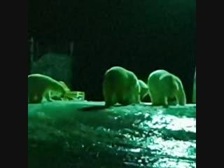 На Новой Земле нашествие белых медведей. В регионе ввели режим ЧС