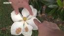 Magnolia Grandiflora, totul despre plantare si intretinere