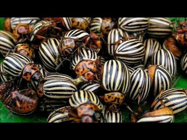 Как бороться с колорадским жуком народными средствами