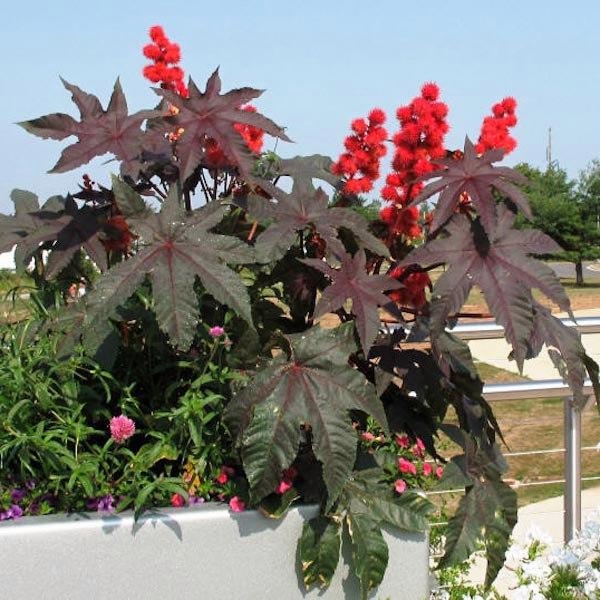клещевина клещевина высокое, мощное декоративное растение с крупными пальчато-лопастными листьями, напоминающее внешне экзотическую пальму. если вы хотите привнести в свой сад колорит