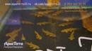 Рыбка Гара руфа