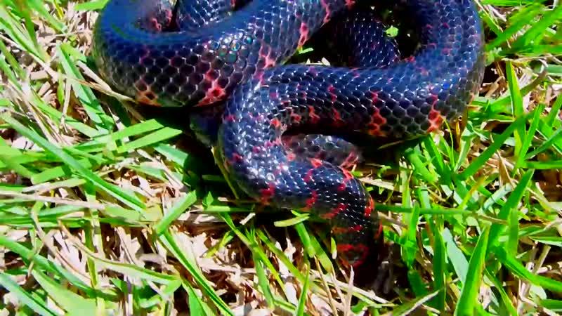 Иловая змея Farancia abacura