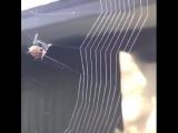 ادق تصوير HD ممكن ان تراه لـ كيف تقوم العنكبوت في نسج بيتها وشباكها .. بطريقة هندسية متساوية المسافة بين كل خيط واخر (( ربنا م