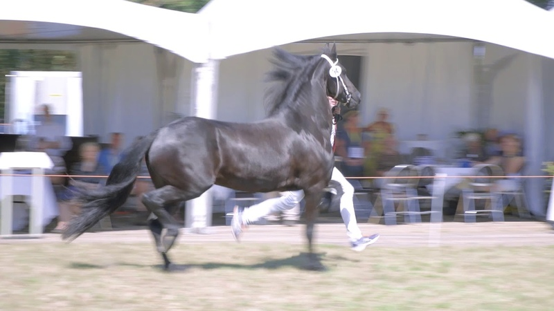 Fokdag Het Friesche Paard Zuid-Nederland