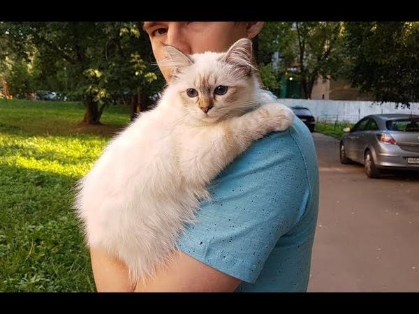 Презентация новой бирманской кошки MYRABIRMANS VENERA питомника БЕЛЫЕ ЛАПКИ