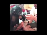 Monkey smokes weed bong then gets the munchies and passes out