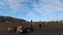 Овцы день второй 2