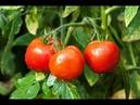 Как часто и сколько поливать томаты Все о поливе помидор