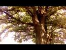 зелёная дубовая страна