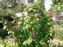 Черная малина Кумберленд в моем саду стоило ли ее сажать