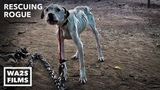 Pit Bull Starved on Heavy Chain Rescued by Pit Crew! Rescuing Rogue - Hope For Dogs My DoDo