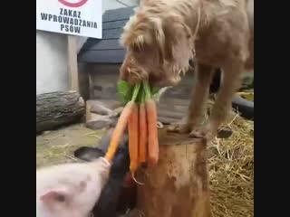 Собака кормит кроликов и поросёнка