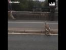 Семейство лебедей мешает движению машин