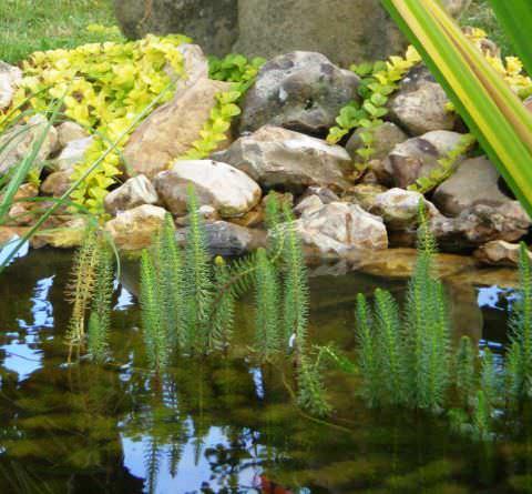 Водяная сосенка