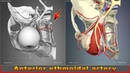 Anterior ethmoidal artery | Arteries of head and neck | 3D Human Anatomy | Organs