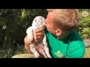 Рождение белых тигров в парке Тайган. Крым   The birth of white Bengali tigers