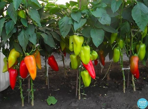 Вот что нужно делать, чтобы перцы не подкачали и дали огромный урожай. 1. Выращивать перцы нужно только через рассаду и в теплице, только так растения будут крепкие и здоровые. 2. Чтобы рассада