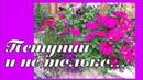 ПЕТУНИИ в горшках, и не только. Обзор однолетних цветов