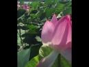 Лотосы цветут.
