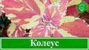 Цветок колеус уход в домашних условиях выращивание колеуса из семян