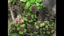 КИСЛИЧКА Oxalis deppei. Освещение, полив, удобрение, пересадка. Уход в зимний период.