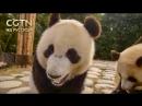 На юго-западе Китая создана базовая лаборатория для будущего Государственного парка больших панд