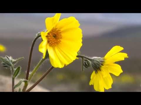 22.02.2016. В США впервые за 10 лет зацвела Долина Смерти