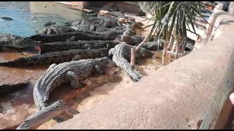 Африка,крокодилы