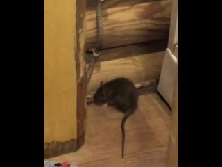 Архангельская Слобода. Ульяновск. Крысы в доме!!!