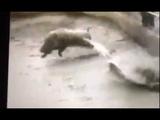Pitbulls apanhando de um porco do mato....