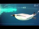 Императорские пингвины побили рекорд по подводному погружению