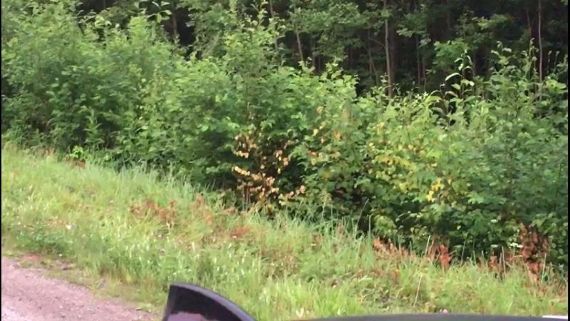 14 июля...лисёнок на трассе м8
