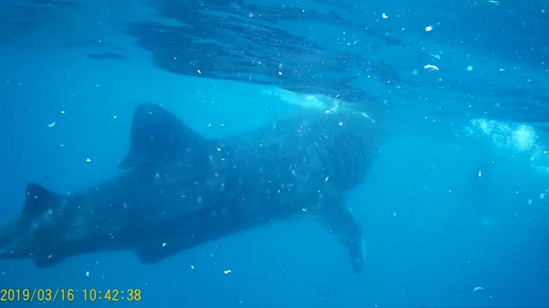 Ослоб. Китовая акула