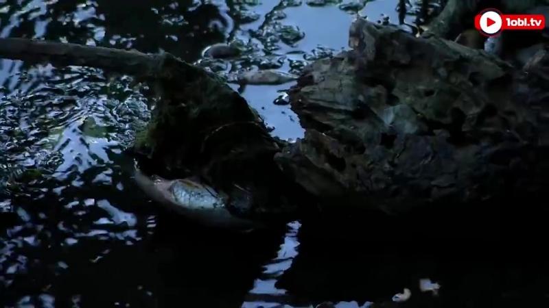 Рыба в реке Миасс не выдержала сильной жары и погибла