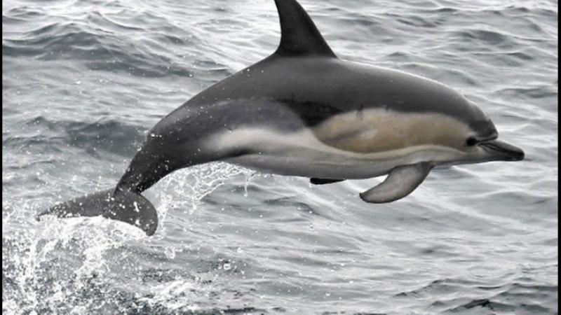 Как не согрешить с дельфином: межвидовой мезальянс глазами науки