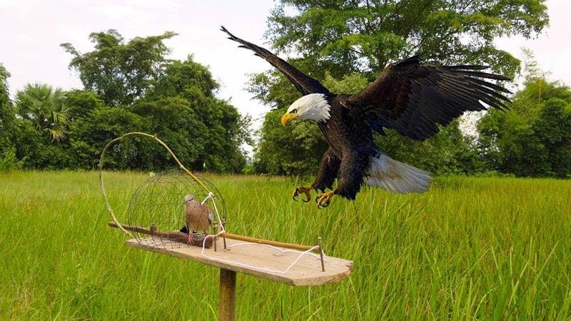 Удивительная быстрая ловушка для птиц, использующая ловушку платформы Snare Snare - простая лучшая л