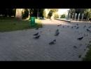 голуби ходят по скверу