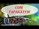 Сом Таракатум в аквариуме размножение содержание уход и чем кормить