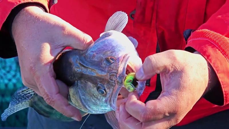 Ловля судака на отводной поводок с воблером VIVA MAZZY POPPER