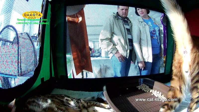 20102018, Харьков, Выставка кошек, RUI, Локомотив, часть 6, бенгалы