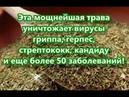 Эта мощнейшая трава уничтожает вирусы гриппа, герпес, стрептококк, кандиду...