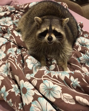 """Енот Тёма Raccoon Tema on Instagram """"🇷🇺Енотики тоже любят играть, как котики😍 Дразнилка под одеялом👌🏼😋 P.S. Угадайте, что за сериал мы смотрим) по..."""