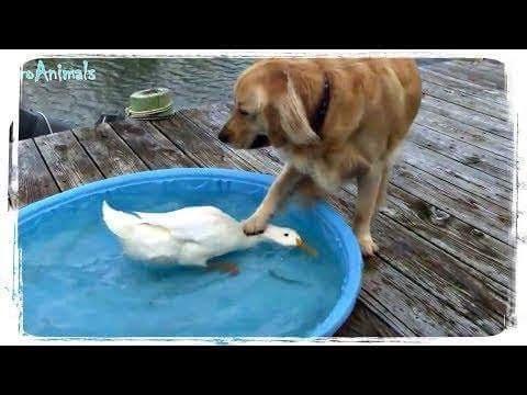 「絶対笑う」最高におもしろ犬,猫,動物のハプニング, 失敗画像集 102