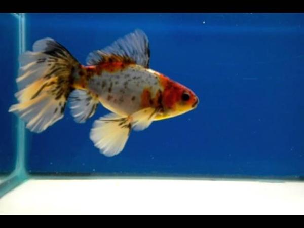 Bristol Shubunkin Goldfish - Adult Male