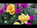 Цветущие все лето Остеоспермум Диморфотека Катарантус