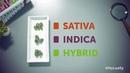 В чем разница между Индикой Сативой и гибридом