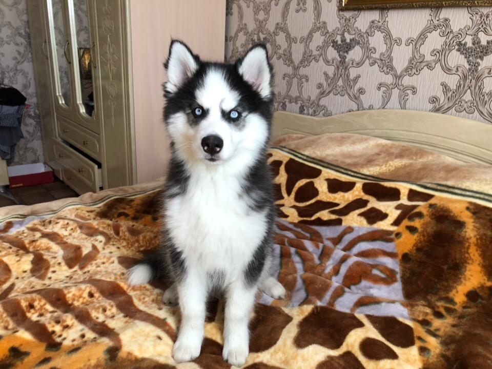 Продаются очень красивые пушистые щенки Сибирской хаски с документами РКФ.