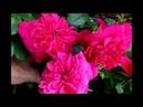 Розы с названием сортов 6часть