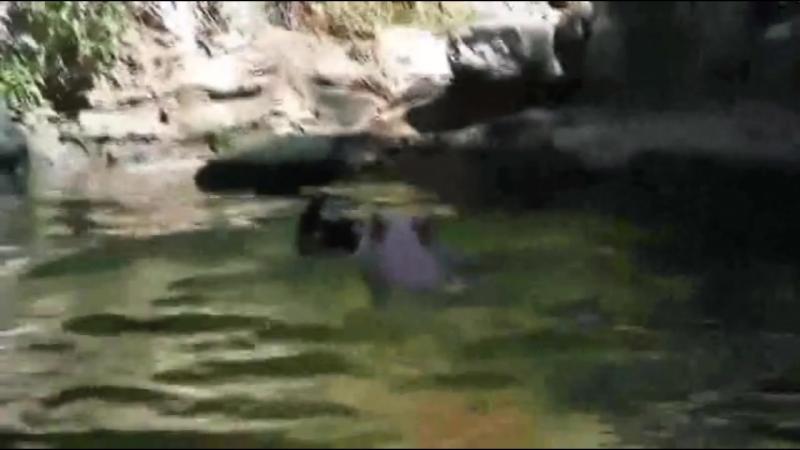 Хрюшка помогла ягненку выбраться из воды. Видео прикол